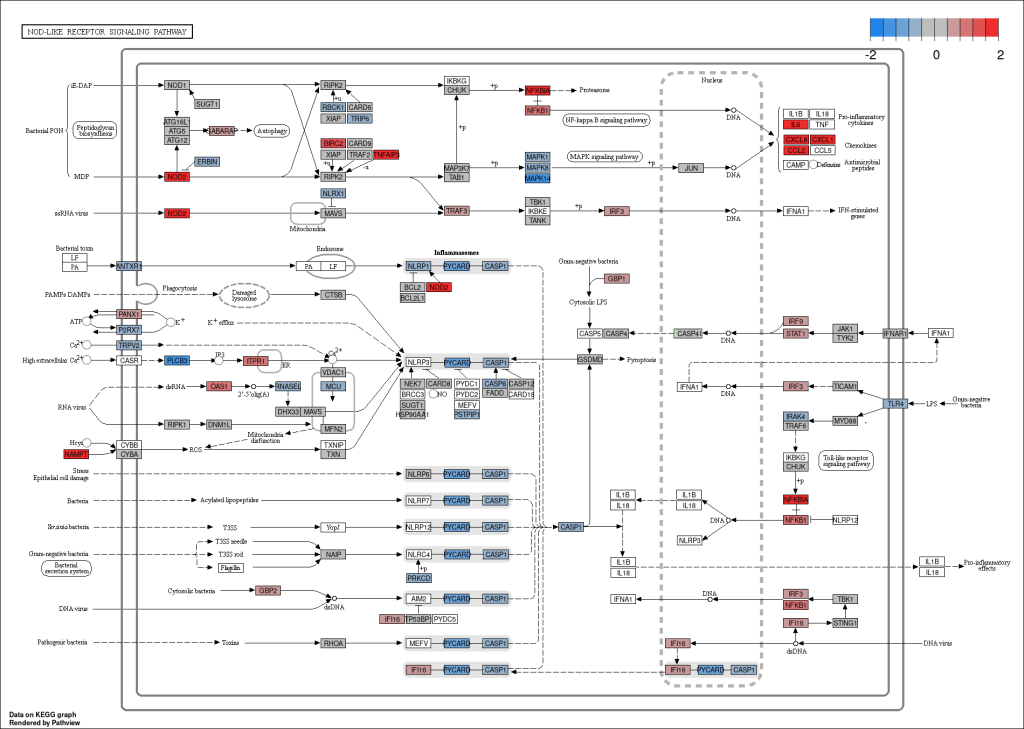 Figure 7. Graphical representation of the KEGG NOD-like receptor signaling pathway. Genes coloured in red are upregulated, in blue are downregulated in the IL-17A vs control comparison in HC.